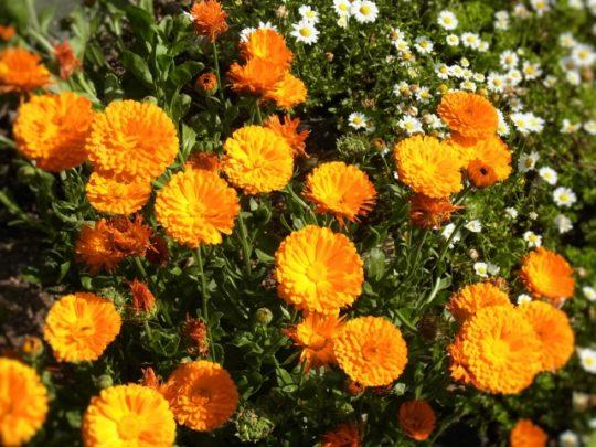 カレンデュラ 花